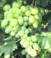 Высокоурожайные саженцы винограда (Украина)