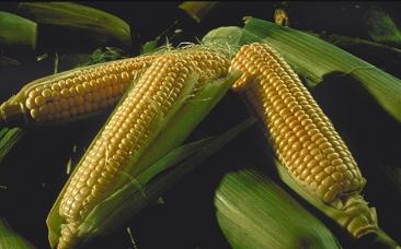 Купить кукурузу посевную