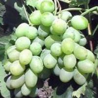 Пропонуємо купити саджанці винограду