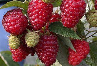 Предлагаем саженцы сладкой малины «Феномен»
