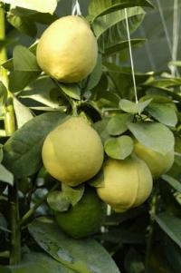 Предлагаем купить саженцы лимонов в Симферополе