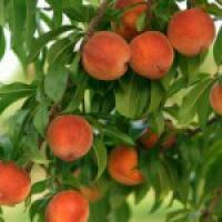 Предлагаем купить саженцы персика в Чернигове