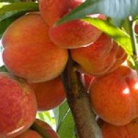 Реалізуємо плодові саджанці персика Славутич