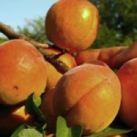 Пропонуємо саджанці абрикоса в Україні