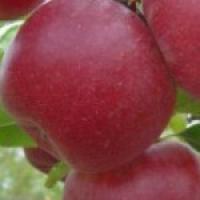 Пропонуємо купити саджанці яблуні в Україні