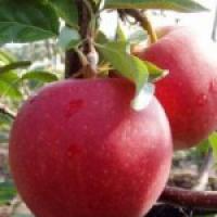 Предлагаем саженцы яблони - зимние сорта