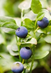 Садибна чорниця якісний продукт та