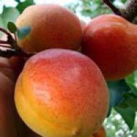 Предлагаем купить саженцы персика Изумрудный