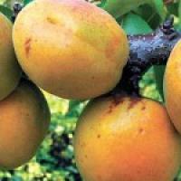Реализуем саженцы абрикоса Летний сувенир