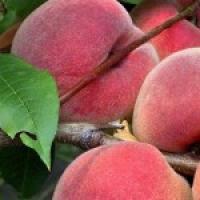 Реализуем саженцы персиков в Киеве