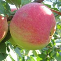Реалізуємо літні сорти саджанців яблуні в Чернігові