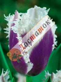 Семена тюльпанов купить