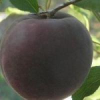 Пропонуємо ексклюзивні саджанці абрикоса - Мелітопольський чорний