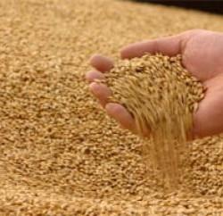 Очистка зерна при любой засоренности в России сепараторами ИСМ