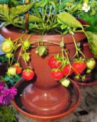 Розсада полуниці у вазонах - насолоджуйтеся цілий рік!