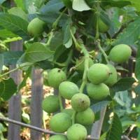 Продаємо найкращі сортові саджанці волоського горіха
