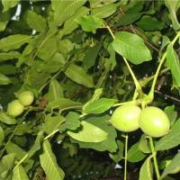 Предлагаем лучшие сорта саженцев грецкого ореха