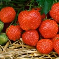 Ідеальні саджанці полуниці (Україна). Кращі сорти для високого врожаю