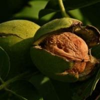 Ищете, где купить саженцы грецкого ореха? Кликайте!