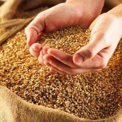 Калибровка и очистка зерна сепаратором ИСМ – гарантия высокого урожая!