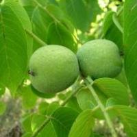 Продаємо щеплені саджанці волоського горіха