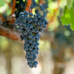 Выращиваем виноград элитных сортов: покупайте у нас лучший посадочный материал