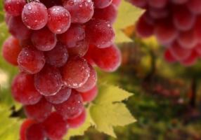 Елітні сорти винограду від власного господарства в Херсоні
