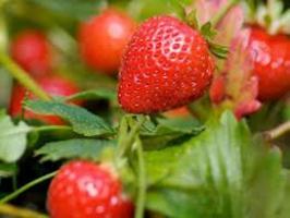 Увага, якісна розсада! Купуйте саджанці полуниці з доставкою по Україні