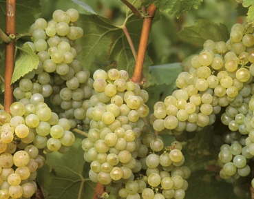 Продажа саженцев винограда элитных сортов. Все, что Вы ищете здесь!