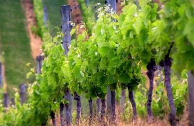 Пропонуємо купити саджанці винограду Аркадія - тільки елітні сорти