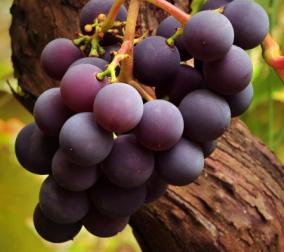 Широкий асортимент елітних сортів винограду: Кишмиш, Лівія, Ювілей Новочеркаська