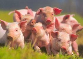 Продаем ветеринарные препараты для свиней