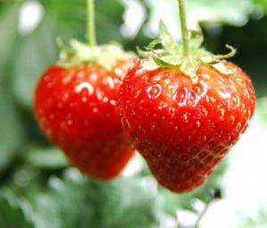 Пропонуємо замовити саджанці полуниці з 98% приживлюваністю!