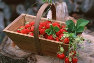 Продаємо саджанці полуниці: сорти Клер, Хоней, Мармелад, Альбіон. Гарантуємо великий врожай!