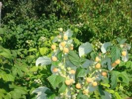 Саджанці малини: різноманітність сортів (купити в Україні)