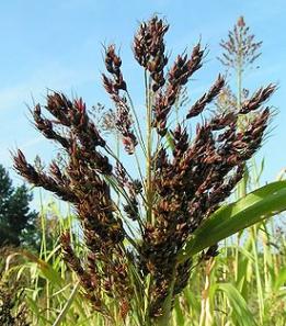 Кормовая трава: отборные семена суданки, Запорожье, Украина