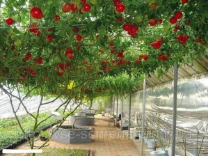 Увага, новинка! Сертифіковане насіння томату Спрут