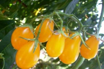 Великий асортимент! Насіння томатів Світ Черрі, Батяня