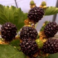 Ежевика Рубен — замечательный сорт для выращивания