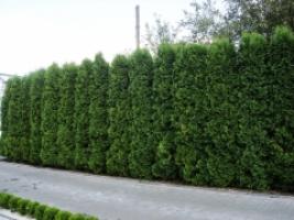 Туи колоновидные оптом. Выгодные предложения для садовых центров!