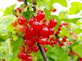 Купити саджанці червоної смородини у виробника вигідно