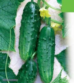 Краще, тільки перевірене насіння огірків можна купити у нас