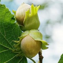 Выращивание фундука в Украине вместе с «Алькор С»!