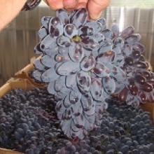 Саженцы винограда Юпитер США (вегетирующие)