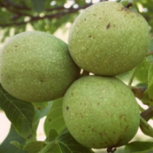 Саджанці волоського горіха - широкий вибір сортів