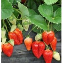 Навіщо переплачувати? Розсаду полуниці купити можна недорого!