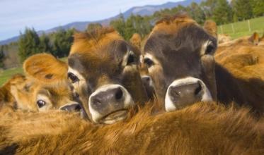 Вітаміни для телят. Додайте здоров'я своїм тваринам!