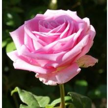 Пропонуємо замовити саджанці троянд різних сортів