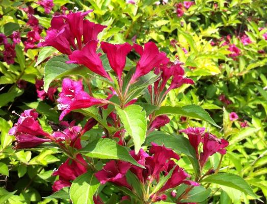 Предлагаем купить вейгелу цветущую розовую