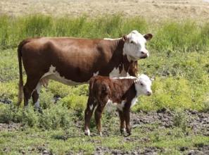 Премікс для телят і корів: купуйте перевірені добавки